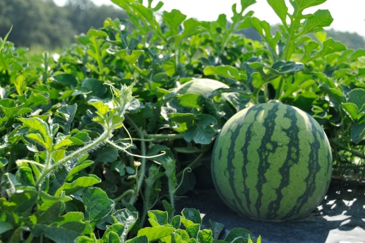 The first sighting of powdery mildew on South Carolina watermelons for 2018 was reported in Charleston County on Monday.