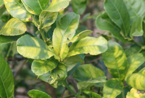 Symptoms of Huanglongbing include asymmetrical, blotchy yellowing or mottling on leaves with patches of green on one side and yellow on the other.