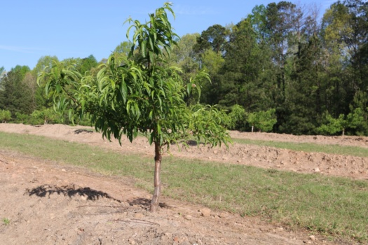 Peach trees are planted on berms at Clemson's Musser Farms.
