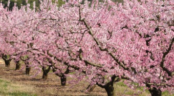 Peach trees in bloom in the spring at the Clemson University Musser Fruit Research Farm.