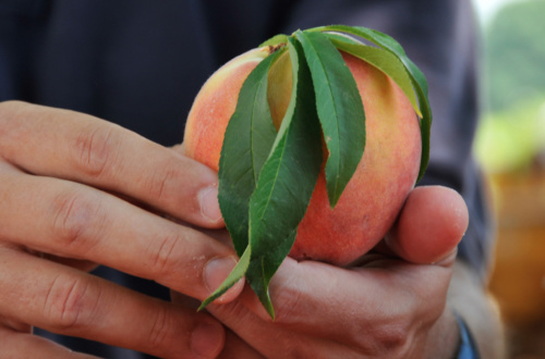 Peaches might have avoided most of the historic's flood's damaging effects.