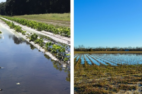 At left is a field that was saturated by October 2015's record storm. At right is a field still saturated in mid-February 2016.