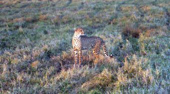 During a tour of the Sabi-Sabi game reserve, Donald Liebenberg took this photo of a cheetah. Courtesy of Donald Liebenberg